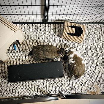 blog Now the rabbits are bonded in fencing