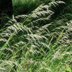 Oat-grass