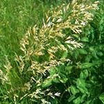 ordinary gold-oat grass