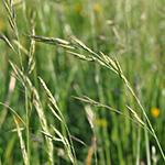 Meadow fescue