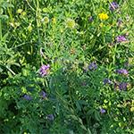 Herbal grass