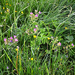 grass meadow with herbs is rabbit food