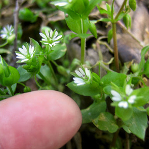 herb April chickweed for rabbits