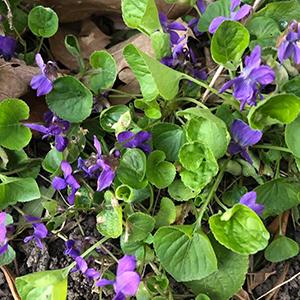 weed April violet