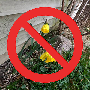 herb toxic daffodils