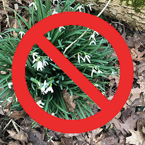 herb poisonous snowdrops